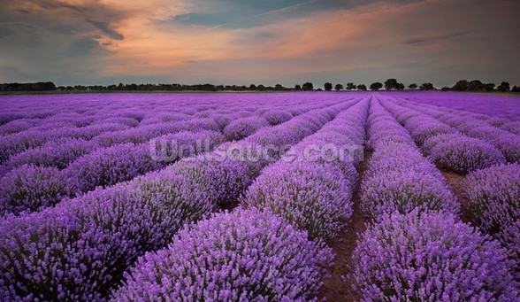 Fields of Lavenders wallpaper mural