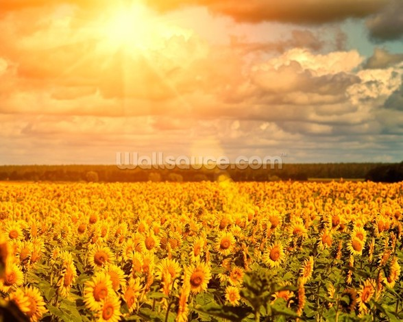 Summer Sunflowers mural wallpaper