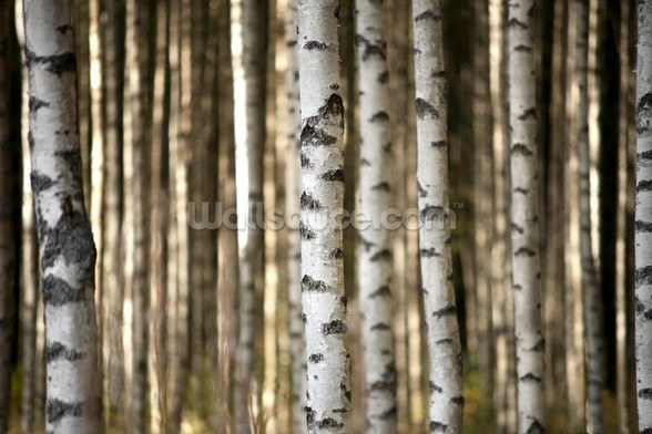 Birch Trees mural wallpaper