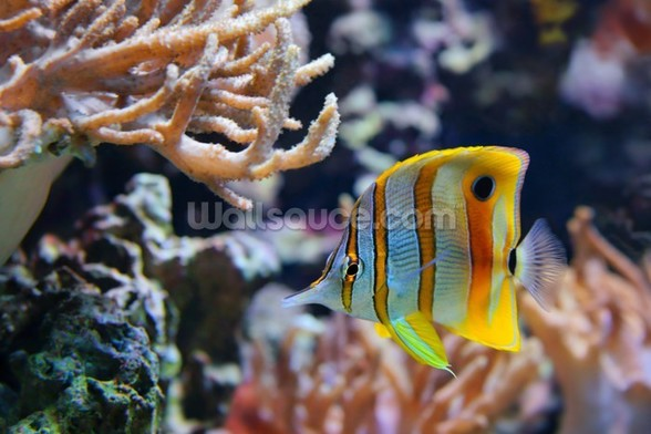 Copperband Butterflyfish wall mural