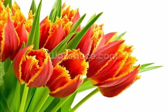 Orange Tulips wallpaper mural