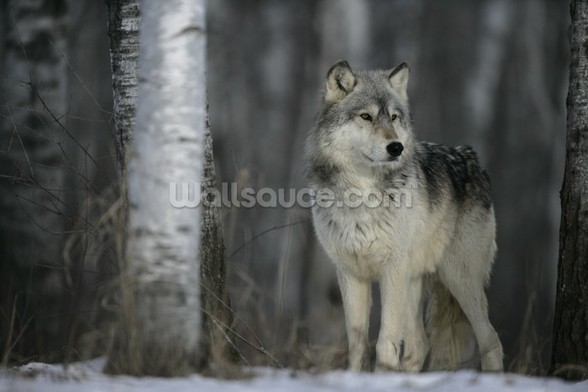 Grey Wolf Prowls mural wallpaper