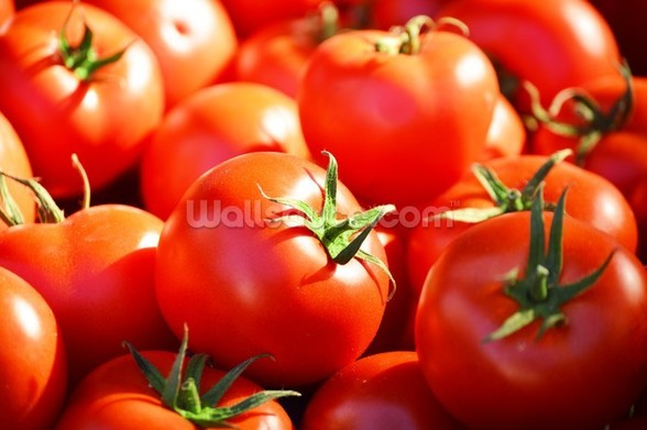 Tomatoes mural wallpaper