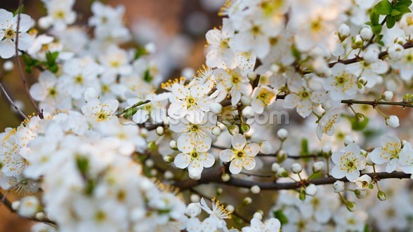 White Spring Flower Blossom mural wallpaper