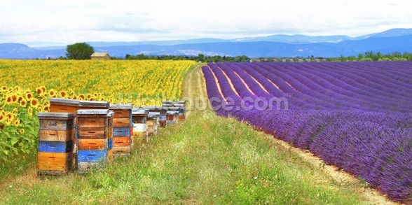 Purple Lavender Field and Bee Hives wall mural