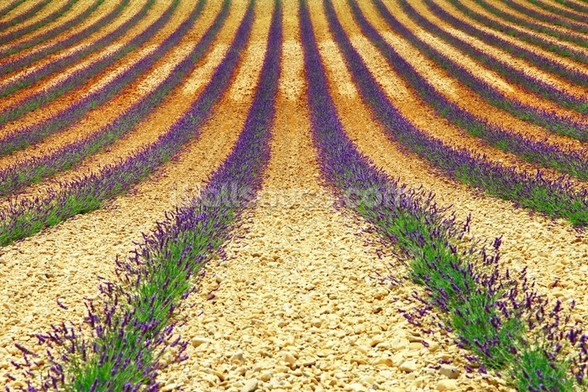 Lavender Field, Provence wall mural