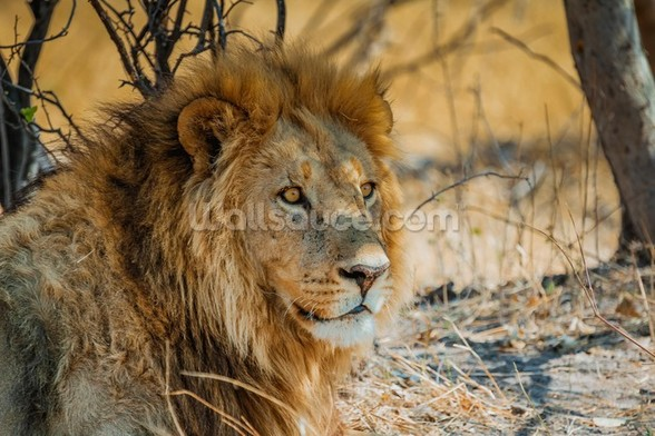 Lion in Africa mural wallpaper