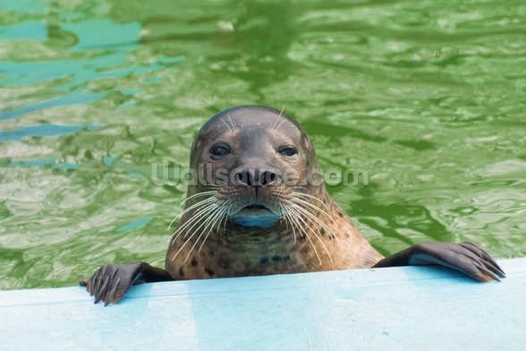 Harbor seal (Phoca vitulina) wall mural