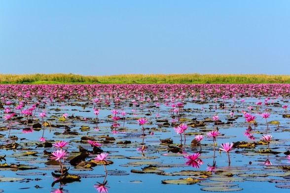Sea of Pink Lotus 2 wall mural