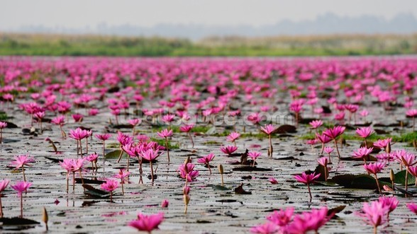 Sea of Pink Lotus, Thailand mural wallpaper