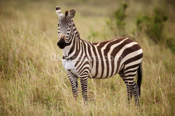 Zebra in Long Grass mural wallpaper