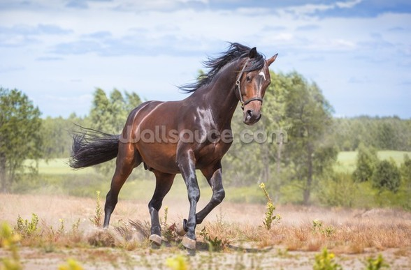 Beautiful Horse in Motion wall mural