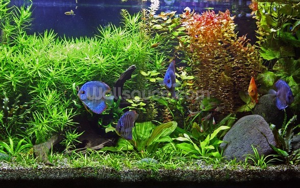 Aquarium with Discus Fish wallpaper mural