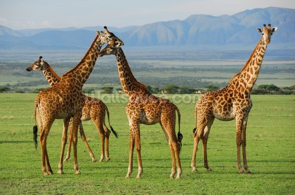 Giraffes mural wallpaper
