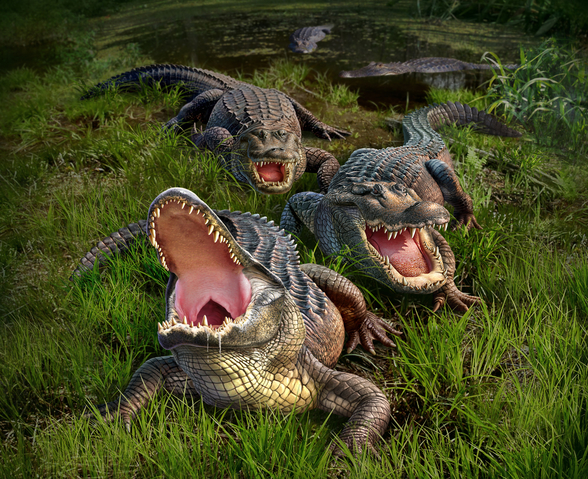 Alligators mural wallpaper