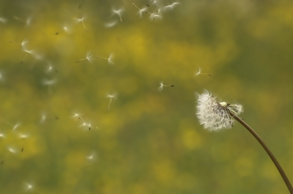 Dandelion in the Wind - Colour wallpaper mural