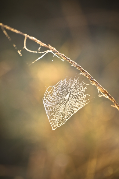 Early morning cobweb wallpaper mural