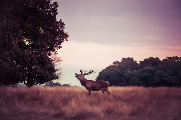 Stag at Sunrise wall mural