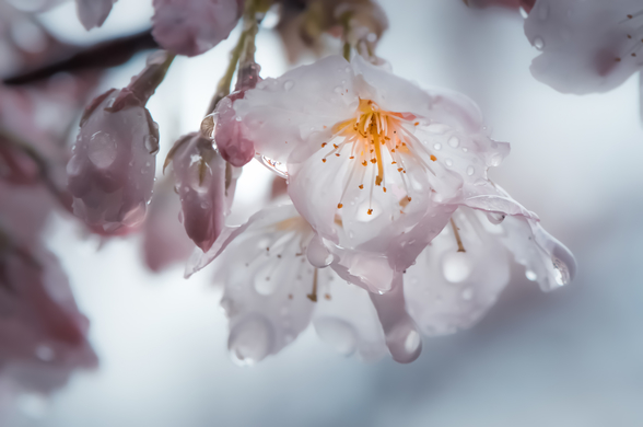Raindrops on Cherry Blossom wall mural