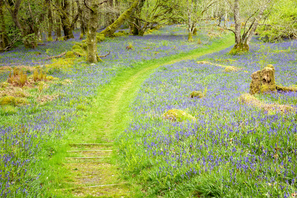 Bluebell Path wall mural