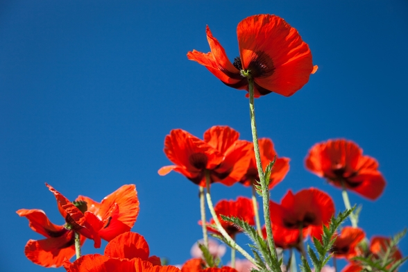 Red Poppies mural wallpaper