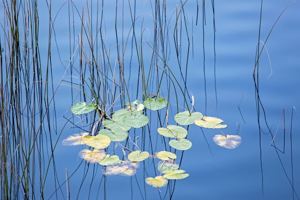 Reeds and Lily Pads wall mural
