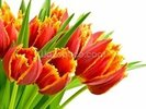 Orange Tulips wall mural thumbnail