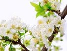 Plum Tree Flower wall mural thumbnail