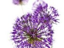 Beautiful Allium Flowers wall mural thumbnail