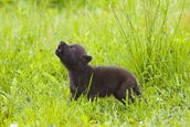 Young Wolf Pup In Meadow mural wallpaper thumbnail