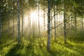 Birch Forest Sunlight wallpaper mural thumbnail
