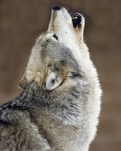 Gray Wolf Howling Portrait wallpaper mural thumbnail