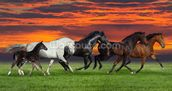 Sunset Horses wallpaper mural thumbnail