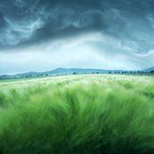 Barley Field mural wallpaper thumbnail