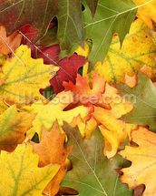 Oak Leaf Autumn Colour wall mural thumbnail
