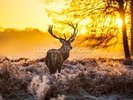 Red deer in morning sun wall mural thumbnail