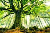 Mother Tree mural wallpaper thumbnail