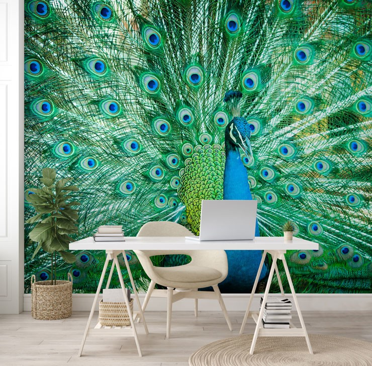 photo of beautiful peacock with fanned out feathers wallpaper in white, futuristic office