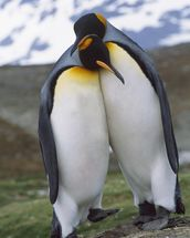King Penguin Pair - Mating Behavior wall mural thumbnail