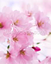 Japanese Cherry Tree in Blossom mural wallpaper thumbnail