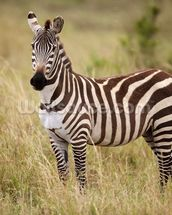 Zebra in Long Grass mural wallpaper thumbnail