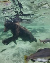 Grizzly Bear Swimming After Spawning Salmon mural wallpaper thumbnail