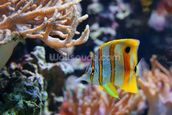 Copperband Butterflyfish wall mural thumbnail