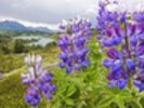 Lupine Flowers Near Lost Lake Seward wall mural thumbnail