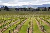 Marlborough Vineyards wall mural thumbnail