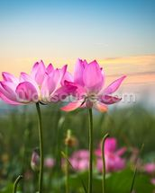 Lotus Flower in Sunset mural wallpaper thumbnail