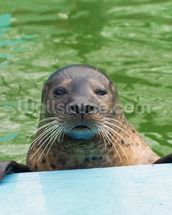 Harbor seal (Phoca vitulina) wallpaper mural thumbnail