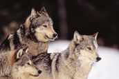 Three Gray Wolves At The Forests Edge mural wallpaper thumbnail