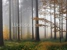Misty Autumn Forest wall mural thumbnail
