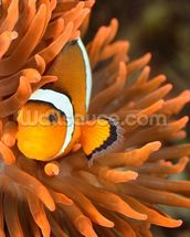 Clownfish in Marine Aquarium wallpaper mural thumbnail